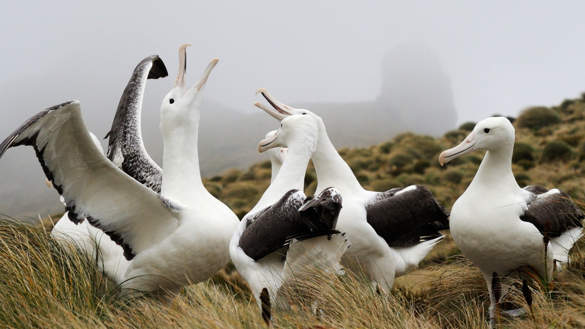 albatros in antarctica