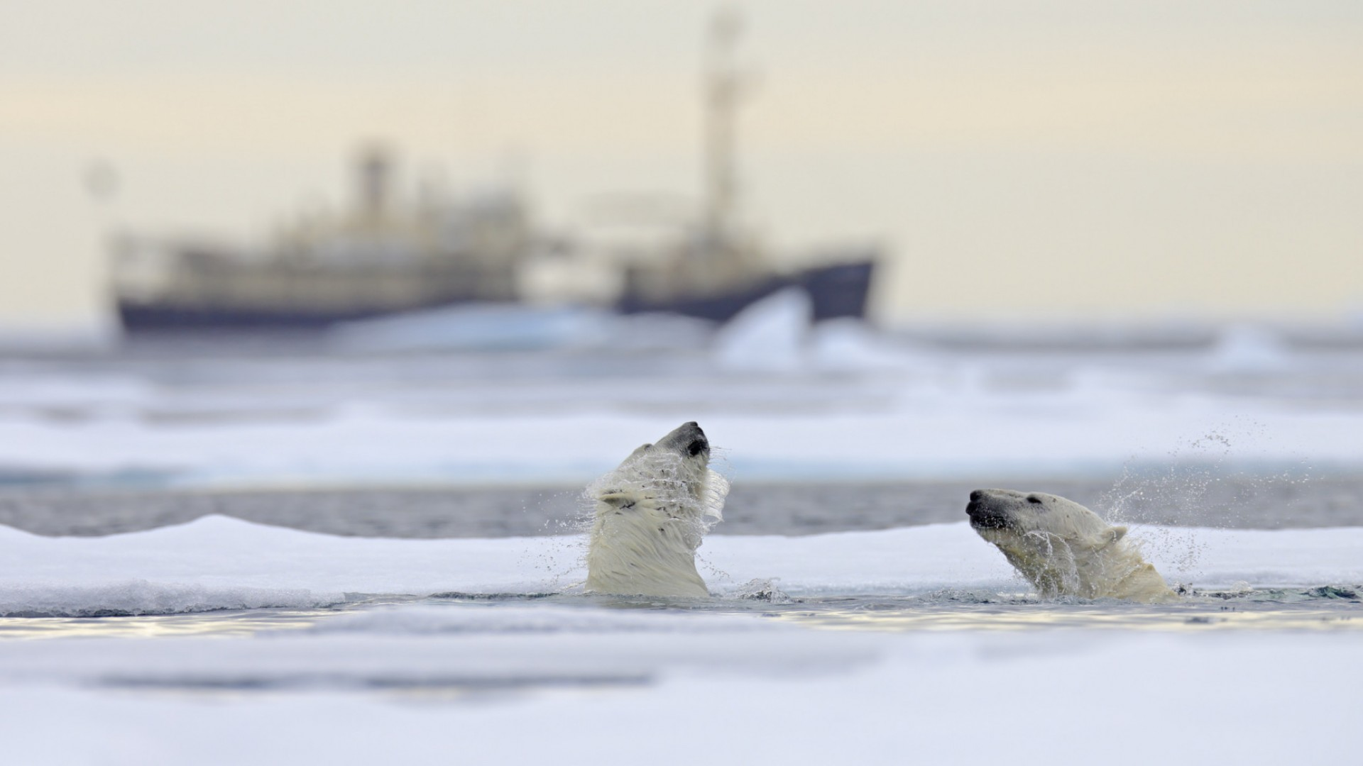 polar bears swimming in the arctic