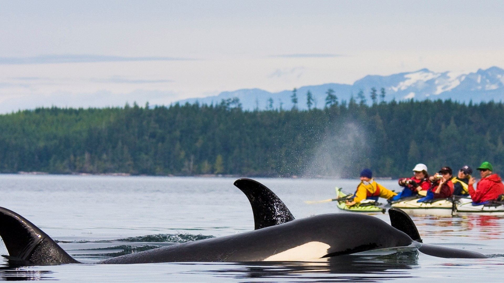 orcas and kayaks in BC