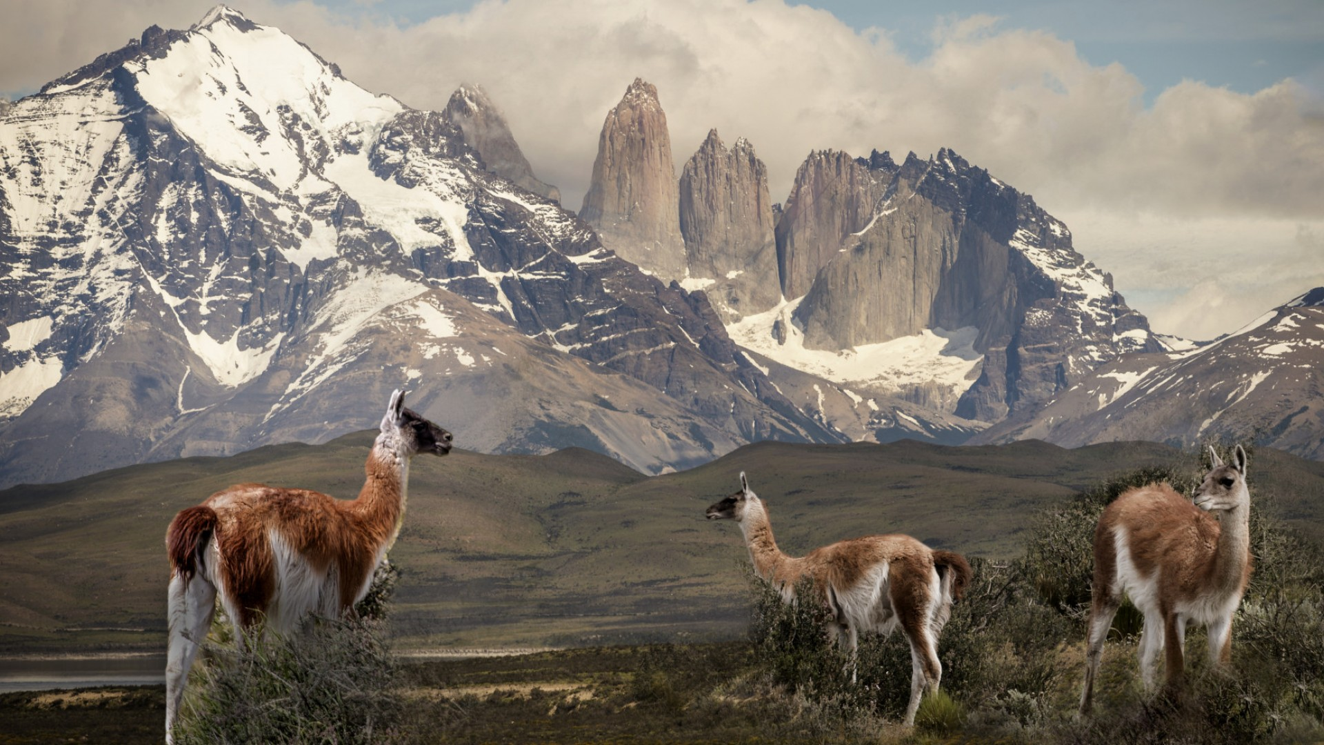 Guanaco in front of mountains in patagonia