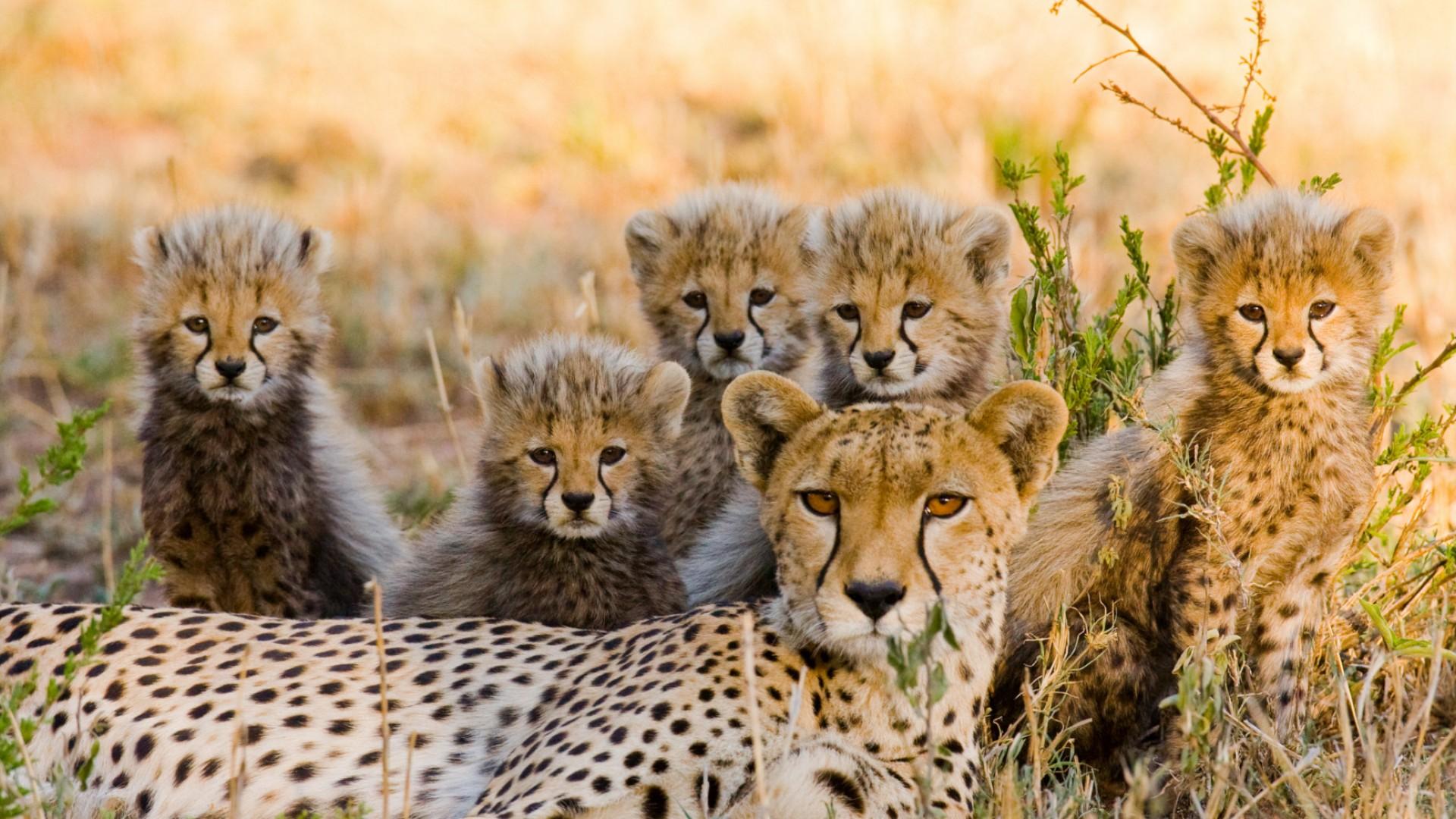 cheetah family in kenya
