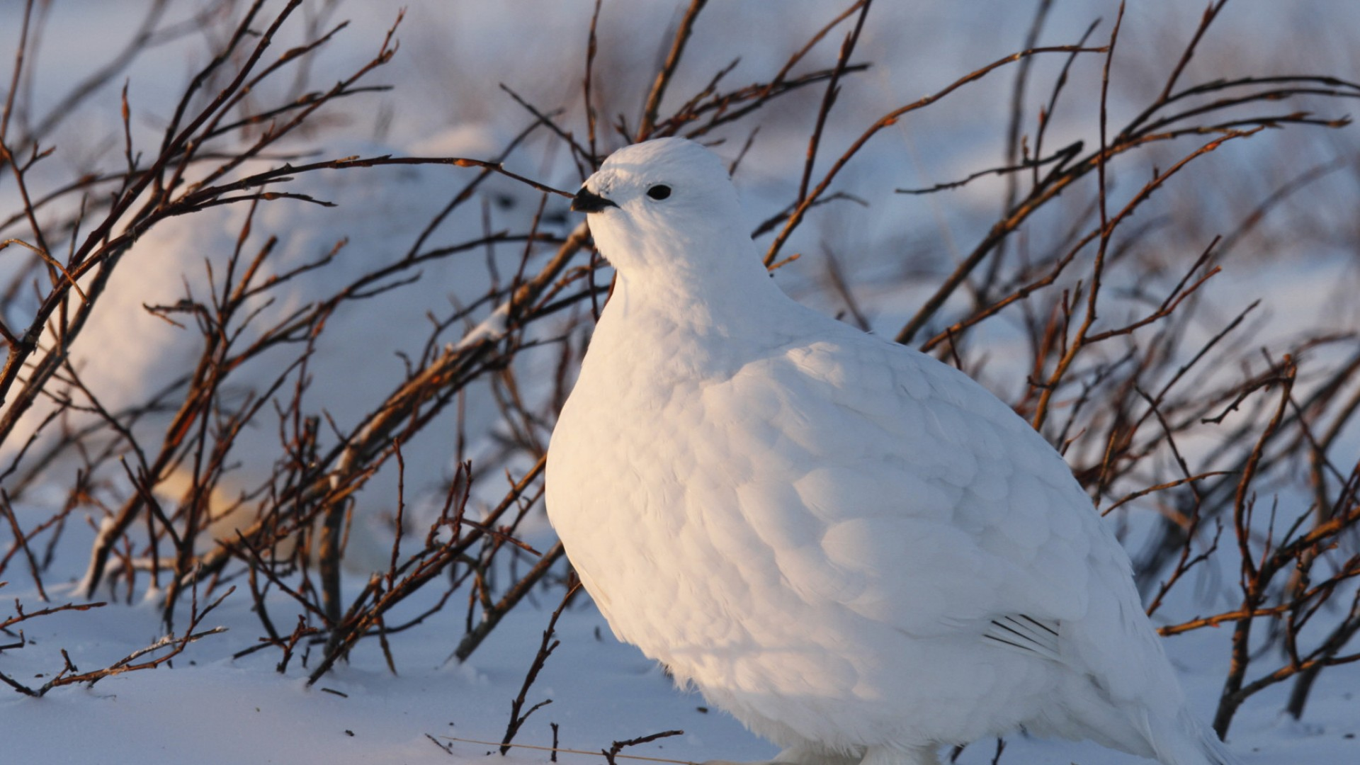 Ptarmigan near willow in the arctic