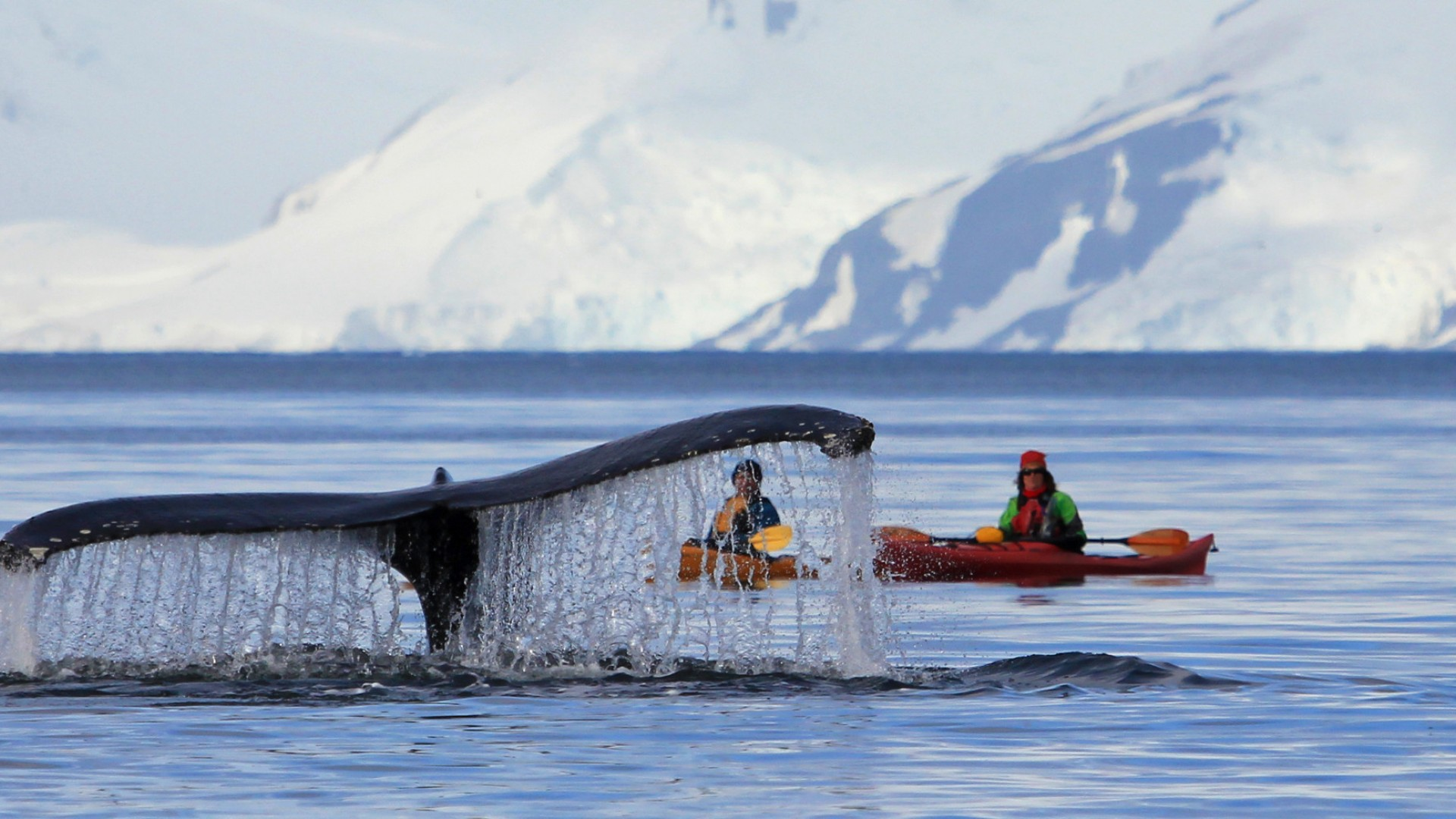 kayakers and whale in antarctica
