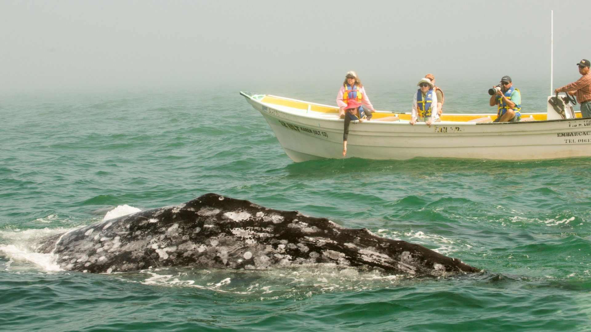 grey whale and small boat in magdalena bay baja