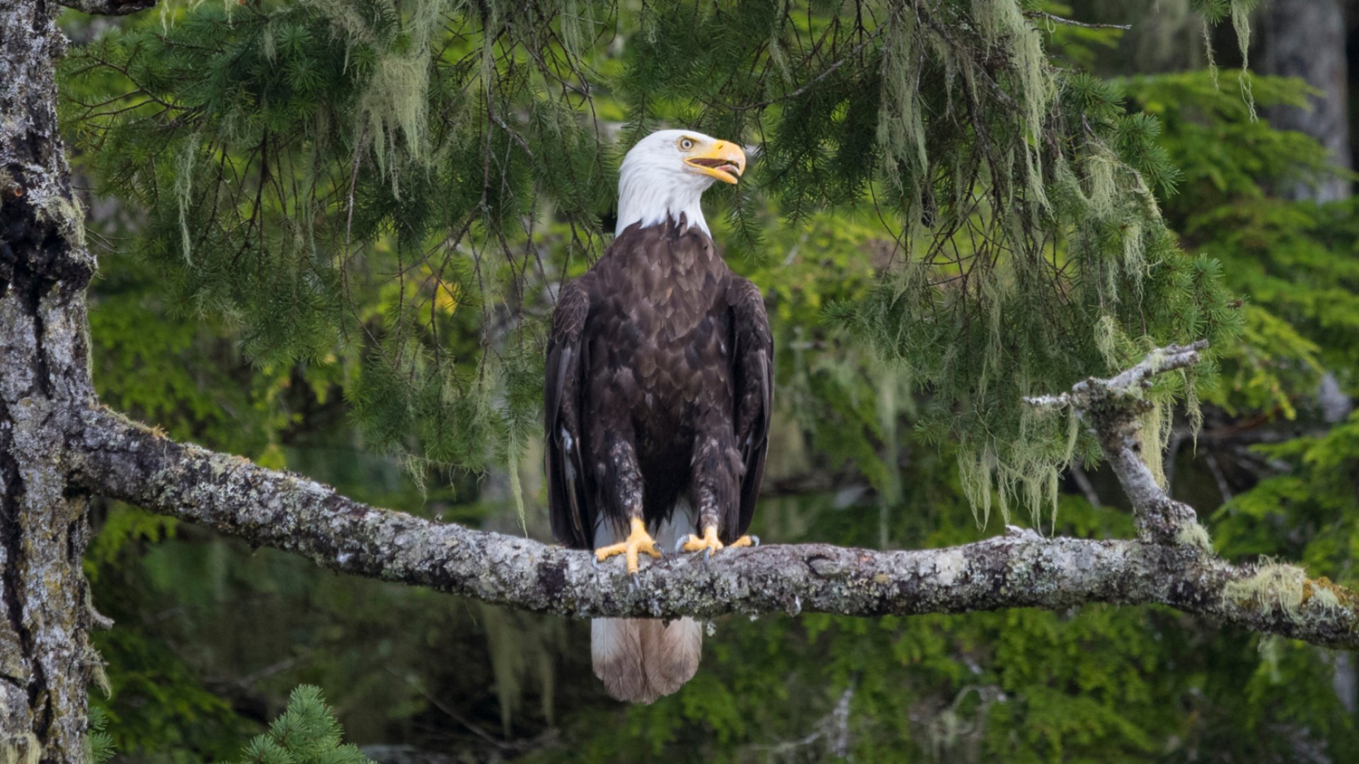 bald eagle in BC