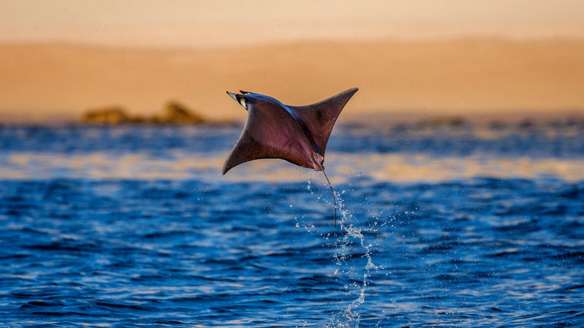 flying mobula ray in sea of cortez