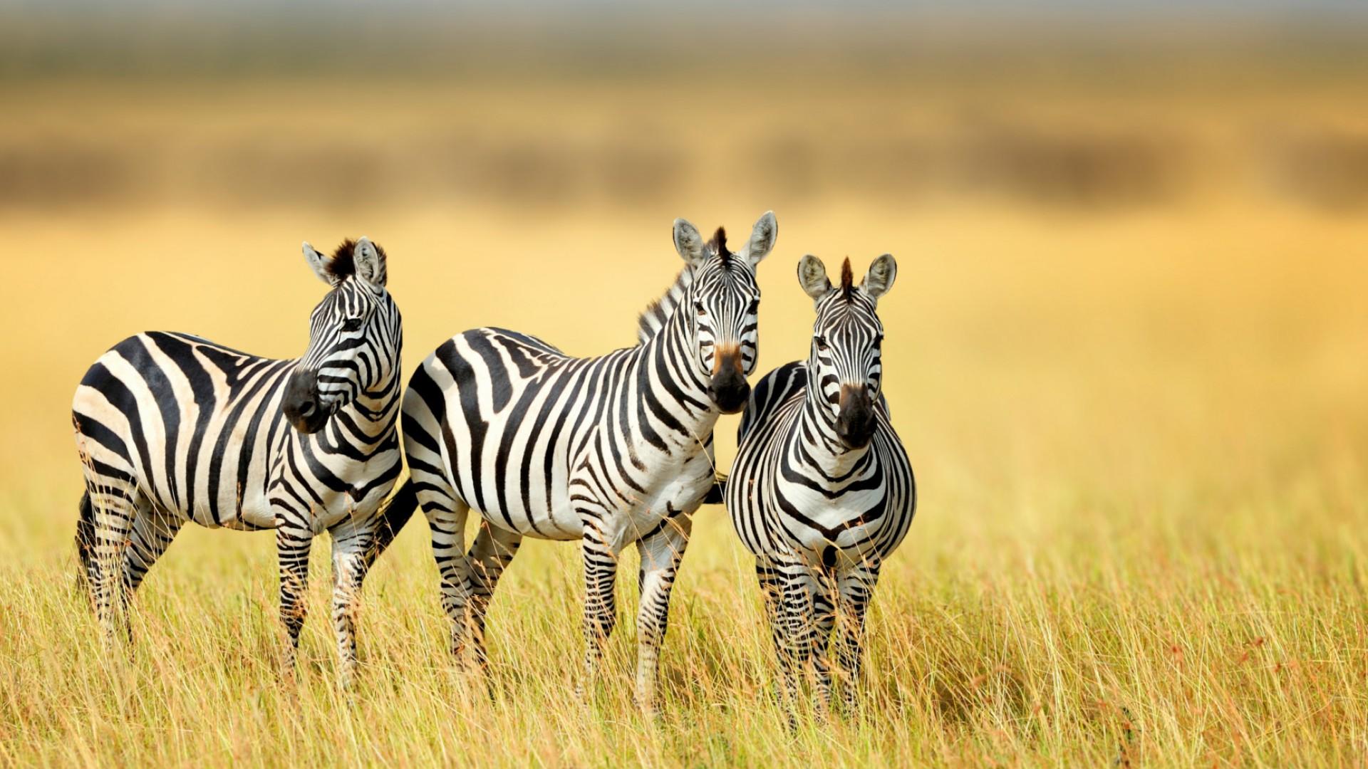 zebras in south africa