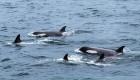 Transient killer whales in Antarctica