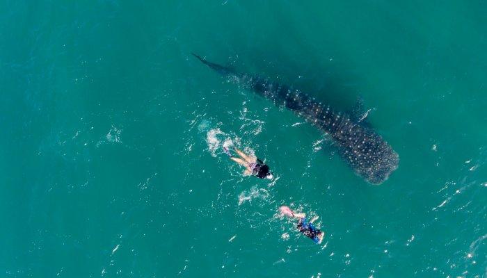 whale shark LaPaz